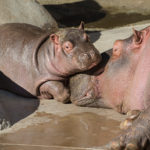 L.A. Zoo's New, Behind the Scenes Hippo Encounter