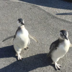 Magellanic Penguin Chicks Make Debut at the Aquarium of the Pacific