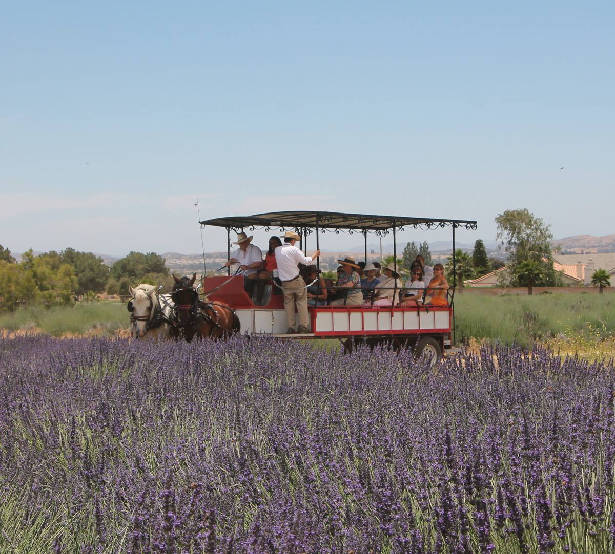 15th Annual Lavender Festival