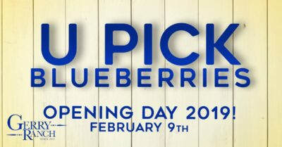 U-Pick Blueberries Opening Day