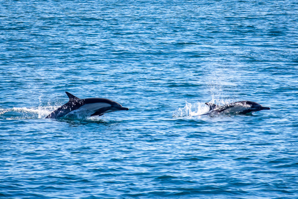 Whale Watching in Long Beach - Humpback Whales, Gray Whales, and Orcas Have Been Spotted Off Shores